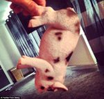 Tom Daley Reveals His Pet Pig Is A Fake For A April Fools' Day Trick